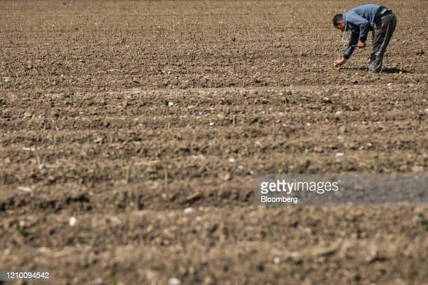 A farm worker harvests spears of asparagus from a field at a farm in Minster near Ramsgate UK on Wednesday April 15 2020 Almost all of Britain's...