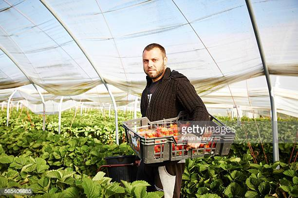farm worker harvests strawberry fruit poly tunnels - picking stock pictures, royalty-free photos & images