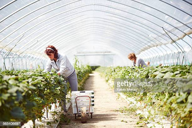 farm worker harvests strawberry fruit poly tunnels - farm worker stock pictures, royalty-free photos & images