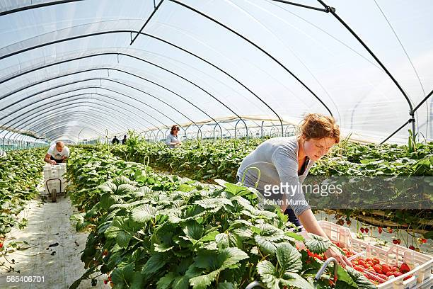 farm worker harvests strawberry fruit poly tunnels - fruit stock pictures, royalty-free photos & images