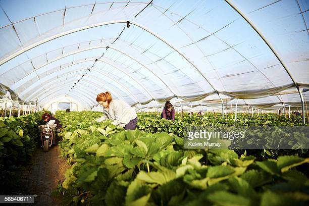 Farm worker harvests strawberry fruit poly tunnels