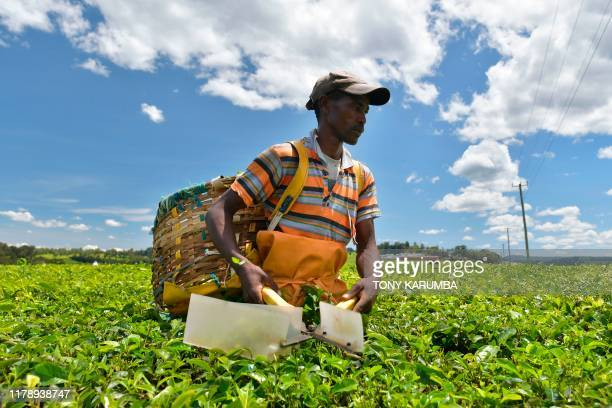A farm worker harvests tea leaves using shears at a plantation in Kenya's Kericho highlands Kericho county in Kenya on October 8 2019 Kericho hosts...