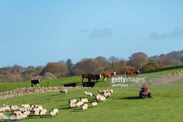 Farm worker herding sheep