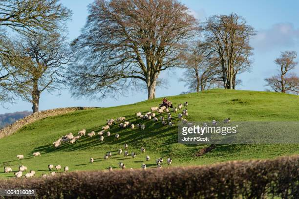 Farm worker herding sheep