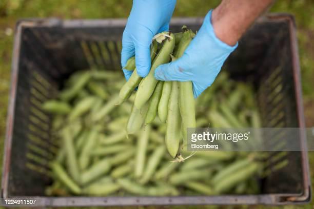 Farm worker holds freshly picked broad beans at Secretts farm in Milford, Surrey, U.K. On Monday, July. 6, 2020. Photographer: Jason Alden/Bloomberg...
