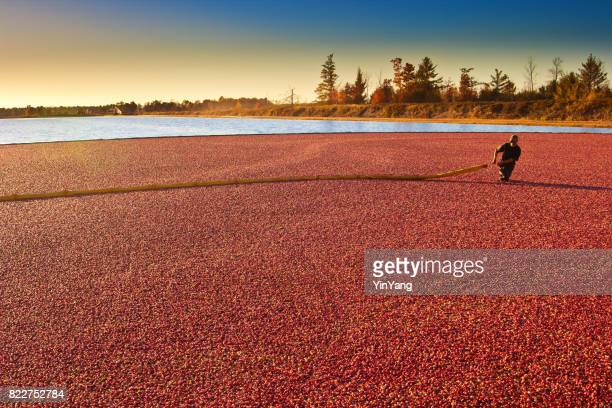 Farm Worker in Cranberry Bog Harvesting the Marsh Field in Wisconsin, USA
