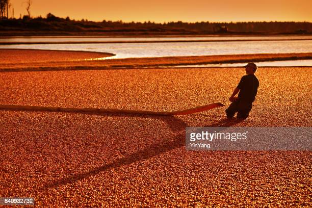 farm worker in cranberry bog harvesting the marsh field in wisconsin, usa - cranberry harvest stock pictures, royalty-free photos & images