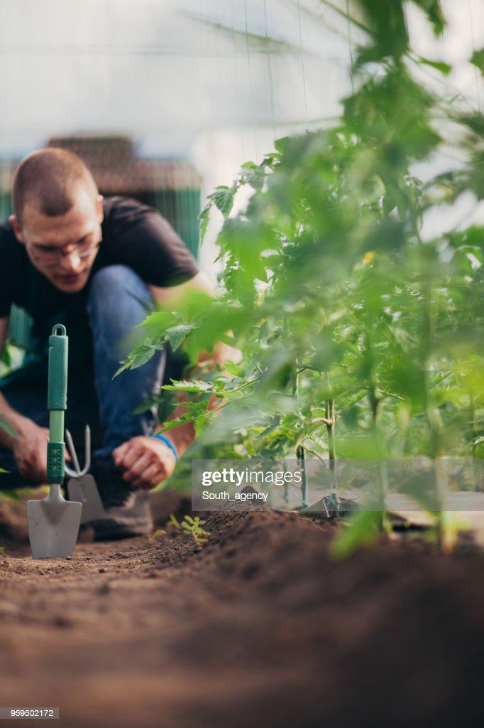 Landarbeiter im Gewächshaus : Stock-Foto