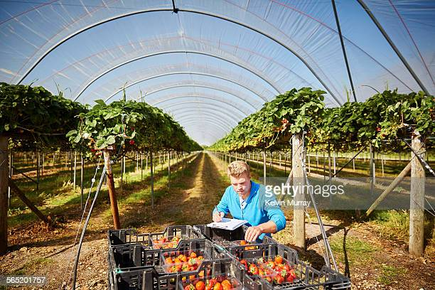 Farm worker inspects harvest by poly tunnel