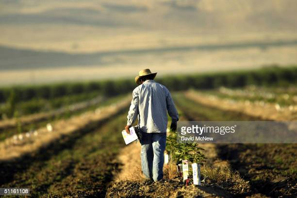 A farm worker labors in a field on August 11 2004 near the town of Arvin southeast of Bakersfield California Californias Central Valley is one of the...