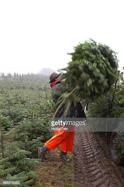 farm worker loading christmas tree onto trailer