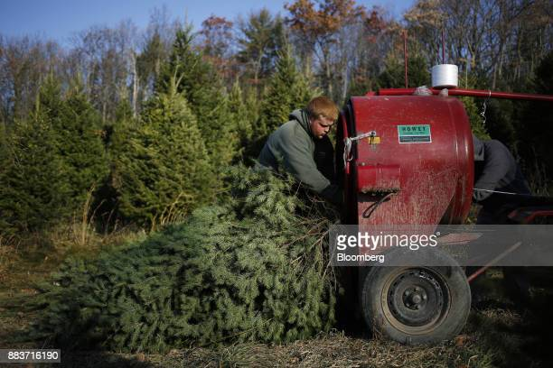 A farm worker loads a Christmas tree into a baler at Brown's Tree Farm in Muncy Pennsylvania US on Wednesday Nov 29 2017 People looking for Christmas...