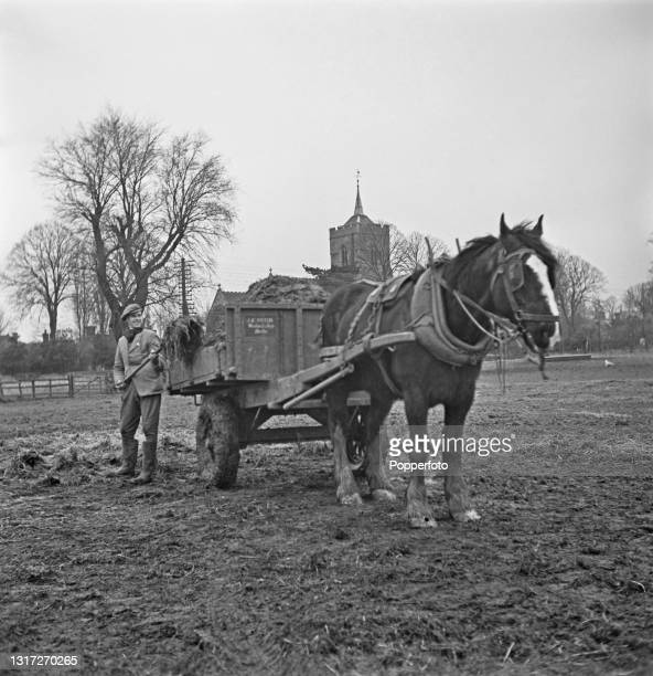 Farm worker loads a horse drawn cart with manure in a field at Ernest Smith's farm near Ware in Hertfordshire, England during World War II on 26th...