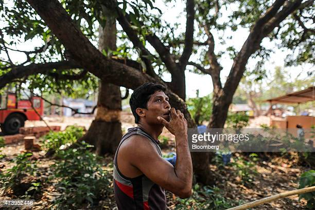 A farm worker looks for Alphonso mangoes in trees during a harvest in Ratnagiri Maharashtra India on Saturday May 16 2015 The JuneSeptember monsoon...