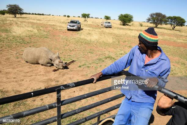 A farm worker looks on from safety as a black rhino begins to recover from the effects of a tranquiliser dart and a horn trim at the ranch of rhino...
