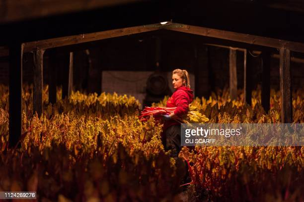 Farm worker Marie Emery harvests forced rhubarb on Robert Tomlinson's farm in Pudsey near Leeds in northern England on February 12 2019 Mr...