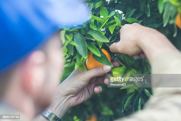 Farm worker on plantation plucking oranges
