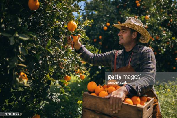 Farm worker picking ripe oranges from orange tree branches