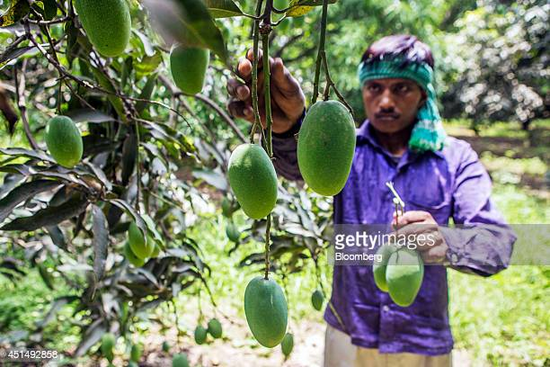 A farm worker picks Dusehri mangoes at an orchard in Hardoi Uttar Pradesh India on Friday June 27 2014 Indian Prime Minister Narendra Modis...