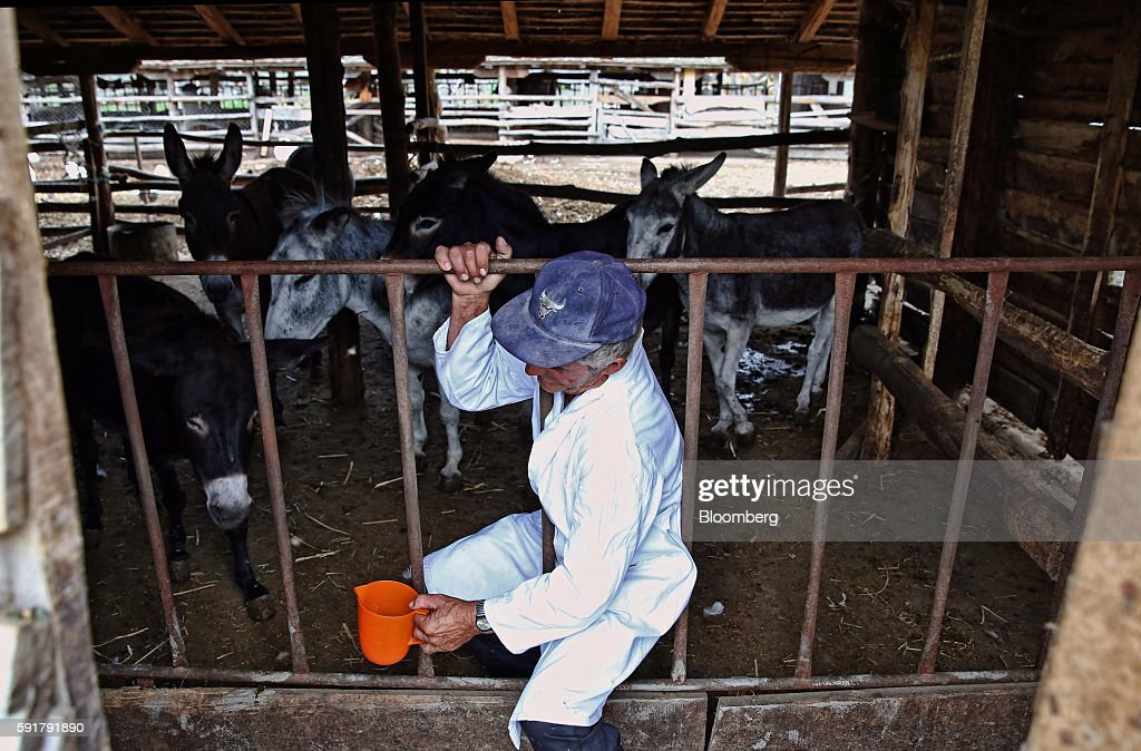 A farm worker prepares to milk donkeys for the production of Serbian donkey cheese, locally known as pule, at the Zasavica donkey farm in Zasavica, Serbia, on Wednesday, Aug. 17, 2016. Pule cheese is made from the milk of Balkan donkeys and is priced at 1100 euros per kilo and reported to be the world's most expensive cheese. Photograph: Oliver Bunic/Bloomberg via Getty ImagesZasavica