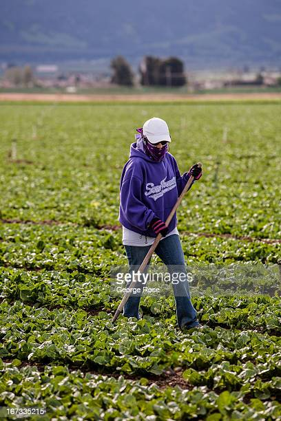 A farm worker pulls weeds from a field of lettuce on April 4 near Gonzales California The Salinas Valley backdrop for several John Steinbeck books...