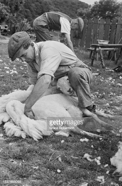Farm worker Pyrs Williams shearing a sheep at Hafod-y-Llan in Snowdonia, northwestern Wales, 1951. He is using hand clippers because a shearing...