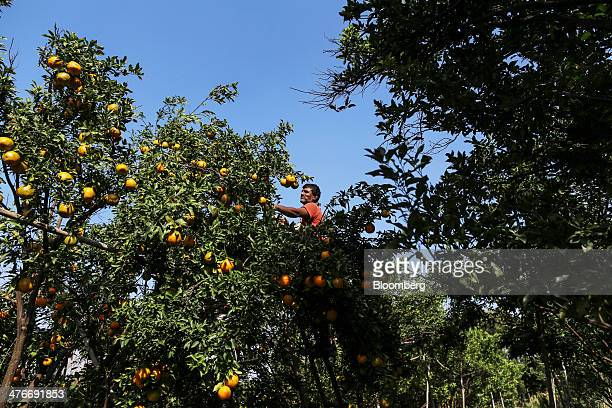 A farm worker stands on a ladder as he picks oranges from a tree during a harvest in Kedarpur village Maharashtra India on Sunday March 2 2014 Indias...