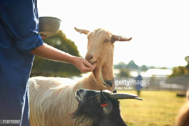Farm worker tending to goats