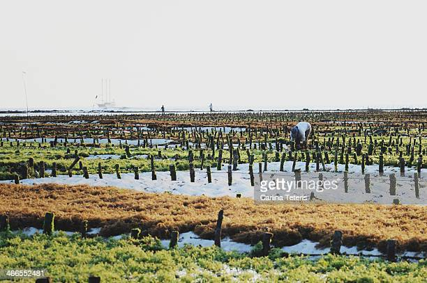 CONTENT] A farm worker tends to his fields making repairs to the network of stakes and ropes that the seaweed grows on At high tide the agricultural...