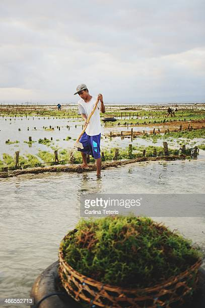 CONTENT] A farm worker tends to to his fields making repairs to the network of stakes and ropes and their seaweed grows on At high tide the...