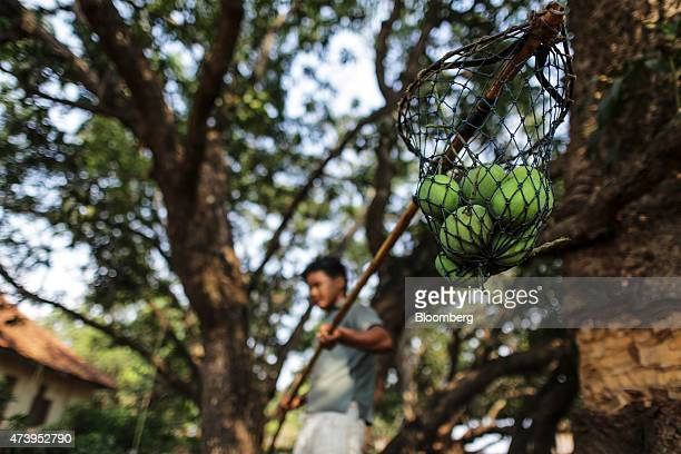 A farm worker uses a bamboo pole to pick Alphonso mangoes during a harvest in Ratnagiri Maharashtra India on Saturday May 16 2015 The JuneSeptember...