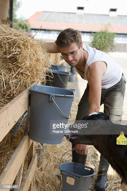 Farm worker watching calf drinking