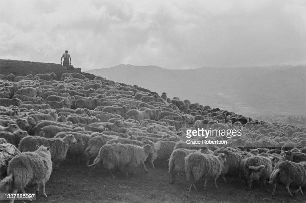 Farm worker with a flock of sheep ready for shearing in Snowdonia, northwestern Wales, 1951. Original Publication: Picture Post - 5377 - Shearing...