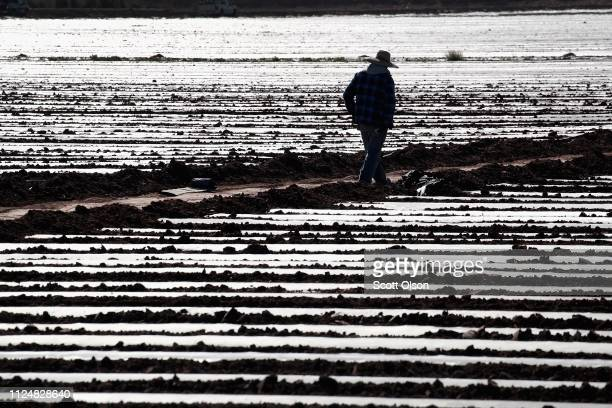 A farm worker works in a field near the USMexico border on January 25 2019 near El Centro California The US government has been partially shut down...