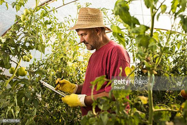 Farm worker writing down the progress of tomatoes in greenhouse.