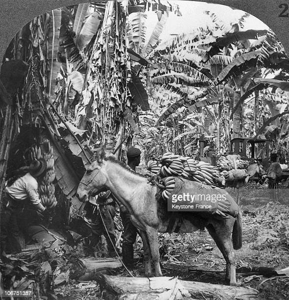 Farm Workers And A Donkey Cutting And Carrying Bananas On A Costa Rican Plantation Around 19001920 Banana Farming Was Then The Country'S Main Resource