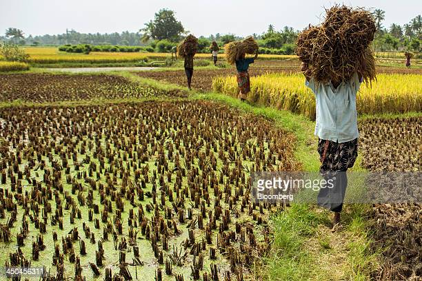 Farm workers carry bundles of rice during a crop harvest in paddy fields near Thimmapuram Tamil Nadu India on Thursday Nov 14 2013 Record onion...
