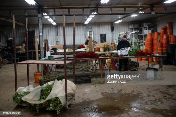 Farm workers clean roses that were selected for the Sant Jordi festival in Santa Susanna near Barcelona on April 20, 2021. - The florists' guild...
