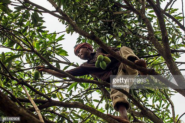 A farm workers climbs a tree to pick Dusehri mangoes at an orchard in Malihabad Uttar Pradesh India on Saturday June 28 2014 Indian Prime Minister...