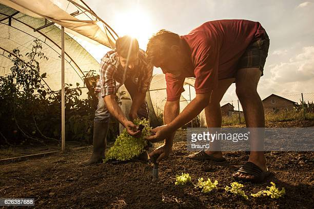 Farm workers cooperating while seeding lettuce on a field.