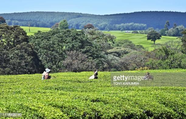 Farm workers emerge from a plantation in Kenya's Kericho highlands Kericho county in Kenya on Octber 8 2019 Kericho hosts vast tea estates...