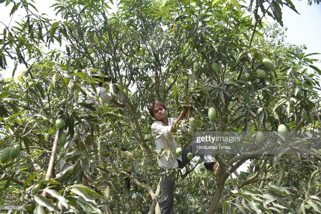 Farm workers gather mangoes on June 18, 2016 in Ghaziabad, India. The Mango growers are cashing on to the summer season with bumper crop of mangoes like Dussheri, Langra and others. The western UP region around Ghaziabad has several mango belts at Dhaulri, Hasanpur, Amroha, Syana Bulandshahr, Saharanpur and Patla Niwari. The mango growers get ready early morning to pluck ripe mangoes and safely pack them into cartons for further supplies to cities.