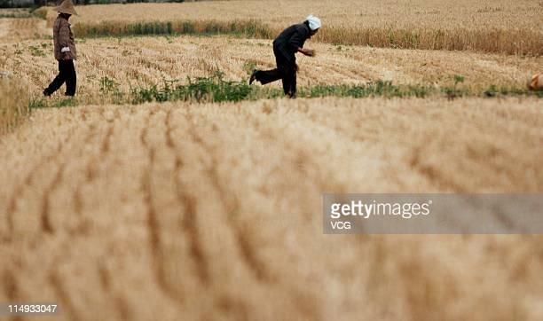 Farm workers glean wheat in a field on May 29 2011 in Huaibei Anhui Province of China Anhui province will put 125000 combine harvesters into this...