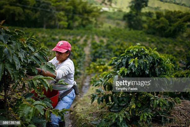 Farm workers hand pick ripe arabica coffee beans on a plantation in Gigante Colombia The work 9 hours a day and pick between 50100 kilograms each day...