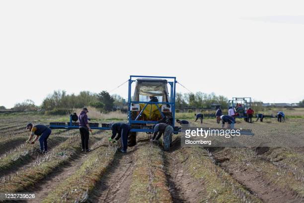 Farm workers harvest asparagus from a field at a farm near Sandwich, U.K, on Thursday, May 6, 2021. Migrant workers have left the U.K. In their tens...
