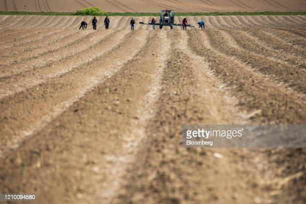 Farm workers harvest asparagus while following a tractor at a farm in Minster near Ramsgate UK on Wednesday April 15 2020 Almost all of Britain's...