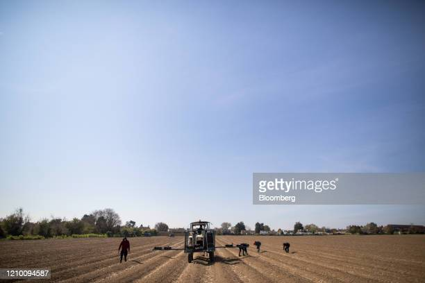 Farm workers harvest asparagus while following a tractor at a farm in Minster near Ramsgate, U.K., on Wednesday, April 15, 2020. Almost all of...