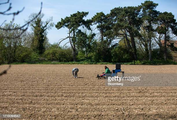 Farm workers harvest spears of asparagus from a field at a farm in Minster near Ramsgate, U.K., on Wednesday, April 15, 2020. Almost all of Britain's...