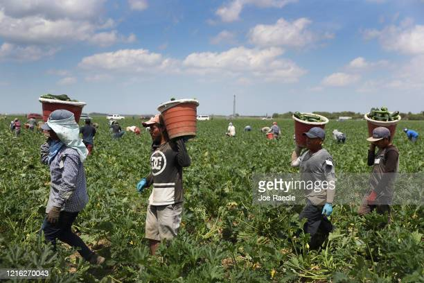 Farm workers harvest zucchini on the Sam Accursio Son's Farm on April 01 2020 in Florida City Florida Sergio Martinez a harvest crew supervisor said...