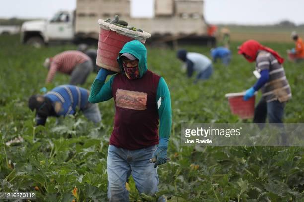 Farm workers harvest zucchini on the Sam Accursio & Son's Farm on April 01, 2020 in Florida City, Florida. Sergio Martinez, a harvest crew...